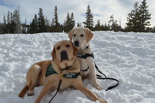Two yellow Labrador Retriever guide dog puppies wearing their green Guide Dogs for the Blind vests pose for a photo in the snow.