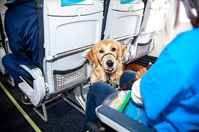 A Golden Retriever Puppy in Training sits politely in the leg room area of the seats on an airplane while wearing their green training vest.