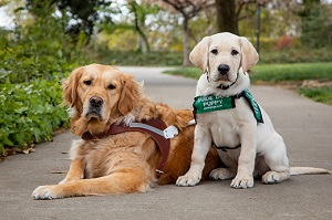 A guide dog sitting next to a guide dog puppy on a path.
